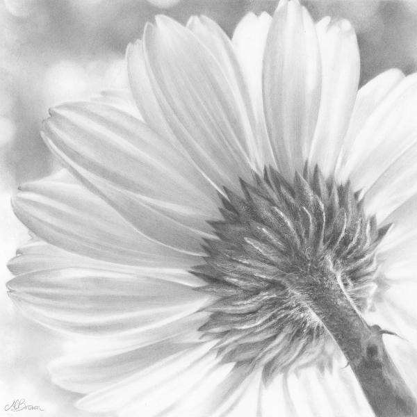 Gerbera drawing
